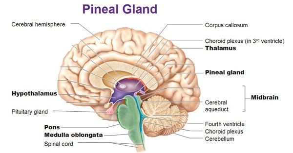 pineal-gland-banner
